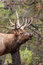 Stock Image : Bull Elk Bugling Close Up