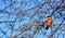 Stock Image : Bullfinch