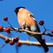 Stock Image : Bullfinch
