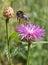 Stock Image : Bumblebee