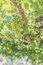 Stock Image : Bunch of grapes on a vine