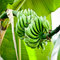 Stock Image : Bunch of green bananas on tree.