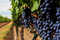Stock Image : Bunches of wine grapes growning in vineyard
