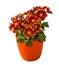 Stock Image : Bush potted chrysanthemum isolated