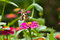 Stock Image : BUTTERFLY AND FLOWER (Zinnia)