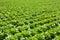 Stock Image : Butterhead lettuce