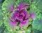 Stock Image : Cabbage decorative