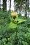 Stock Image : Cabbage Thistle (Cirsium oleraceum)