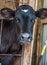 Stock Image : Calf Posing
