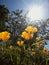Stock Image : California poppies in sunlight