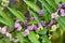 Stock Image : Callicarpa dichotoma fruit.