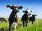 Stock Image : Calves on the field