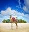 Stock Image : Camel on Dubai Island Beach