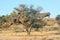 Stock Image : Camelthorn Tree with community nest