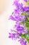 Stock Image : Campanula spring flowers