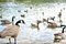 Stock Image : Canadian geese