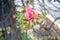 Stock Image : Cannonball Flower (Sala Flower)