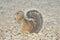 Stock Image : Cape Ground Squirrel