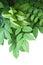 Stock Image : Carambola Star Fruit