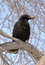 Stock Image : Carrion Crow (Corvus corone) with the Bone