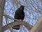 Stock Image : Carrion Crow (Corvus corone) croaking