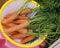 Stock Image : Carrot Nantes