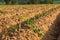 Stock Image : Cassava Farmland