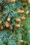 Stock Image : Cedar branches with cones