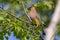 Stock Image : Cedar Waxwing
