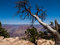 Stock Image : Ceder Tree at the Grand Canyon