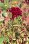 Stock Image : Celosia argentea f. cristata