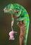 Stock Image : Chameleon holding rat