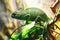 Stock Image : Chameleon
