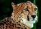 Stock Image : Cheetah