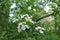 Stock Image : Cherry blossom