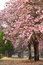 Stock Image : Cherry blossom tree