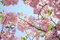 Stock Image : Cherry blossoms