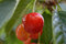 Stock Image : Cherry fruit on the tree