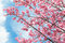 Stock Image : Cherry tree blossoms