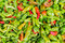 Stock Image : Chilli Peppers