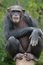 Stock Image : Chimpanzee