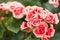 Stock Image : Chinensis rosa