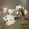 Stock Image : Chinese plum or Prunus mume