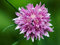 Stock Image : Chive flower