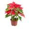 Stock Image : Christmas Star (Poinsettia)
