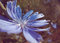 Stock Image : Cichorium intybus on field with sun