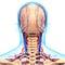 Stock Image : Circulatory system of human head