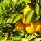 Stock Image : Citrus Tree