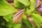 Stock Image : Clematis Bud
