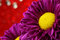 Stock Image : Close-up chrysanthemum.